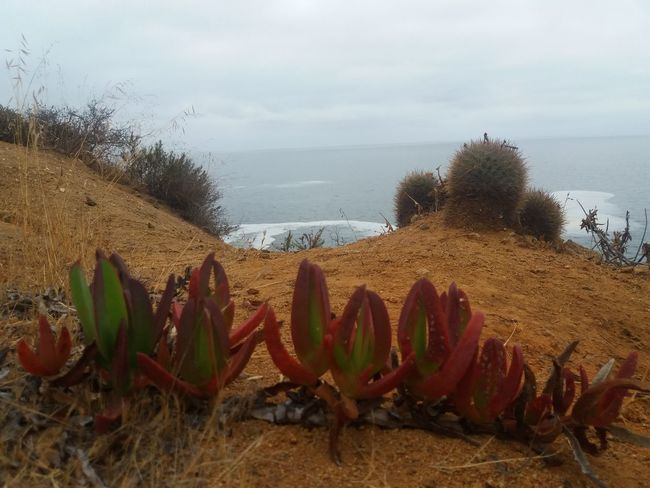 Cactus Plants Seaside Nature Seaside Living Flora Plantas Laguna Verde Valparaiso, Chile Landscape Nature_collection