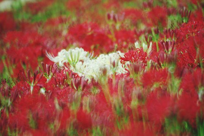 曼珠沙華 彼岸花 権現堂堤 Pentaxk3 Red Plant Flower White Color