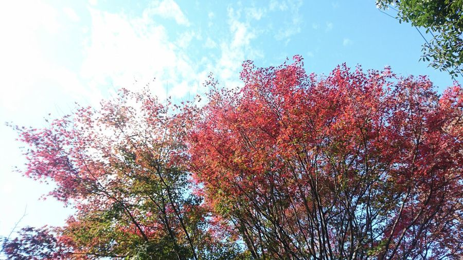 Tree Sky Nature Growth Beauty In Nature Outdoors No People Day Branch Freshness Autumn Harmony With Nature Tranquility Autumn Colours Beauty In Nature Growth Tree Kyoto Japan Red Maple Leaves Maple Leaf Maple Leaves And The Sky Nature Freshness