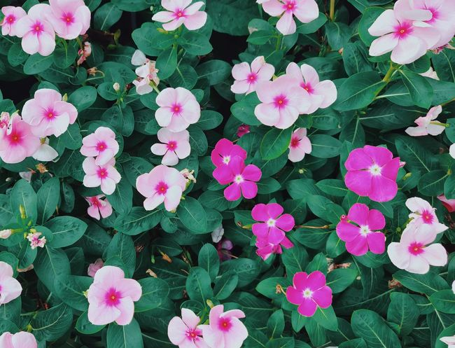 Impatiens walleriana Flowers Green Flora Nature_collection Naturelovers Nature Photography Shotononeplus6 Flower Head Flower Periwinkle Full Frame Pink Color Leaf Backgrounds Close-up Plant Blooming Vegetation Botanical