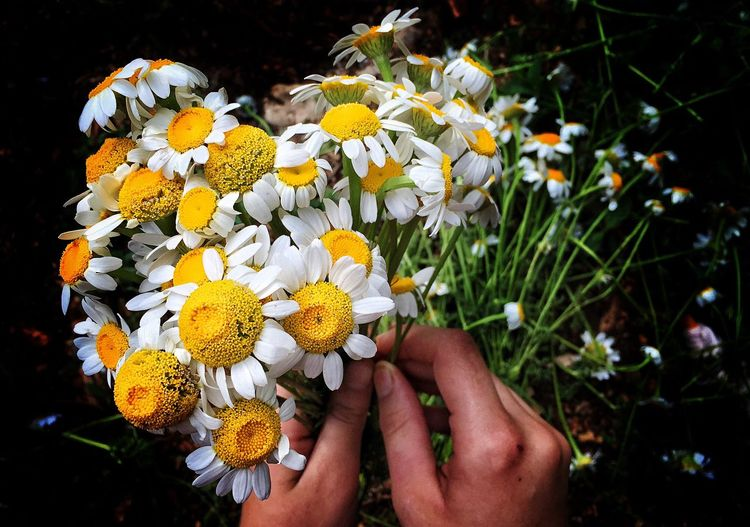 Cropped Hands Holding Daisies