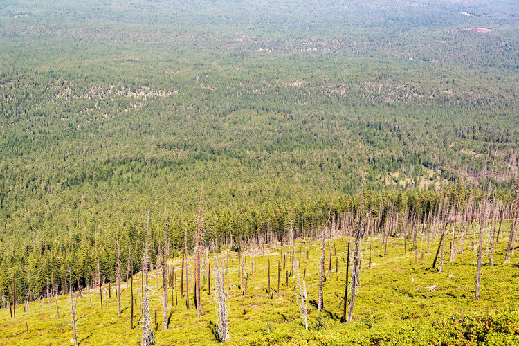 Aerial view of pine trees in field