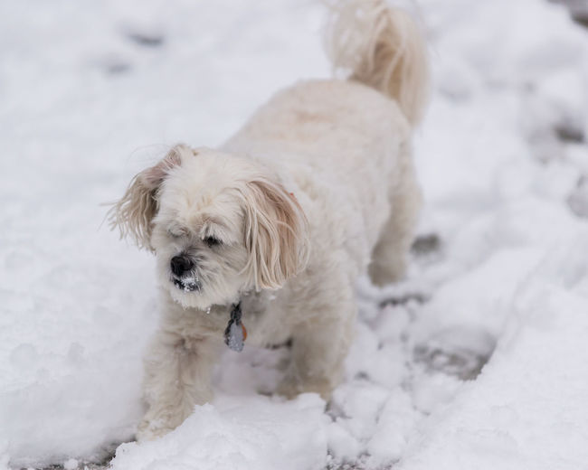 Lhasa Apso Animal Themes Close-up Cold Temperature Day Dog Domestic Animals Focus On Foreground Lhasa Mammal Nature No People One Animal Outdoors Pets Snow White Color Winter