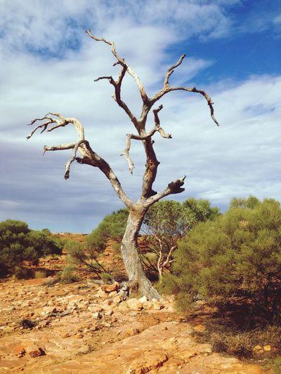 Tree at Kings Canyon