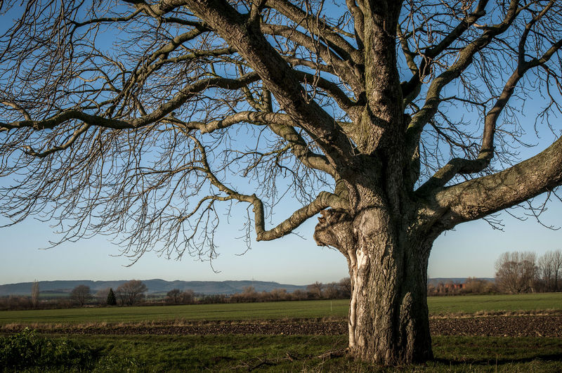 Bare Tree Beauty In Nature Branch Clear Sky Day Environment Field Growth Horsechestnut Horsechestnuttree Land Landscape Nature No People Outdoors Plant Scenics - Nature Sky Tranquil Scene Tranquility Tree Tree Trunk Trunk