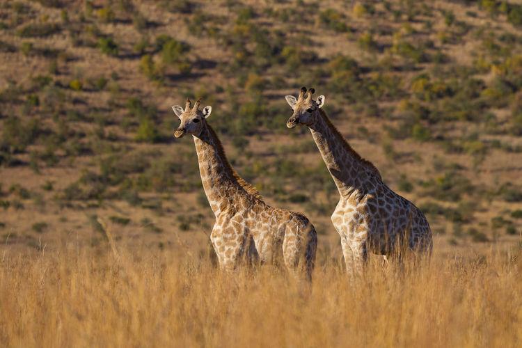 Twin giraffe