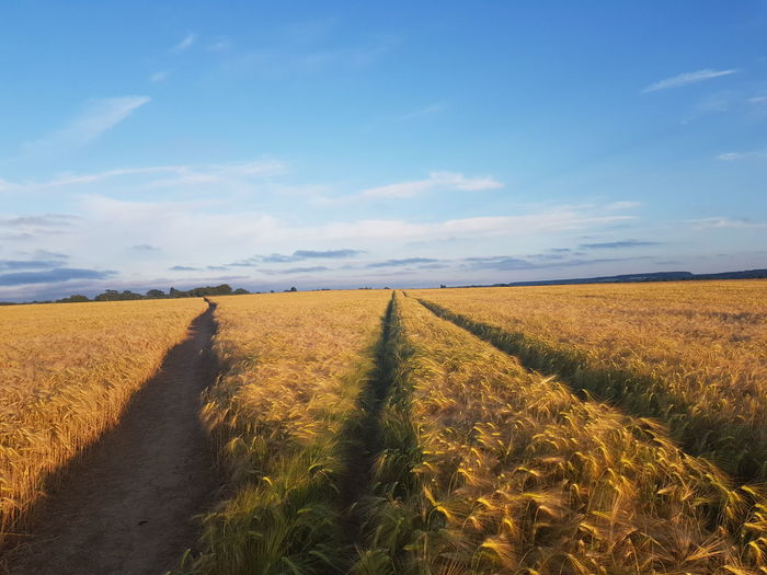 Path Route Openspace Englishcountryside EyeEm Selects Rural Scene Cereal Plant Agriculture Gold Colored Field Summer Crop  Blue Farm Sky Combine Harvester Track - Imprint Tire Track Agricultural Machinery Straight Barley Corn - Crop Parallel Diminishing Perspective vanishing point