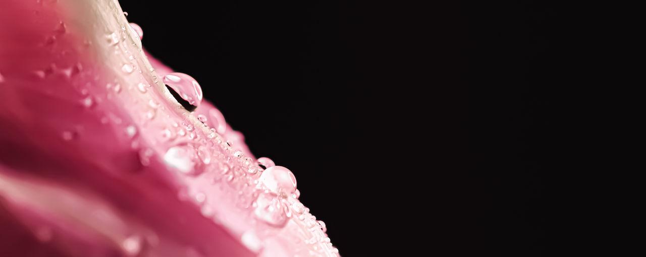 Close-up of wet pink flower against black background