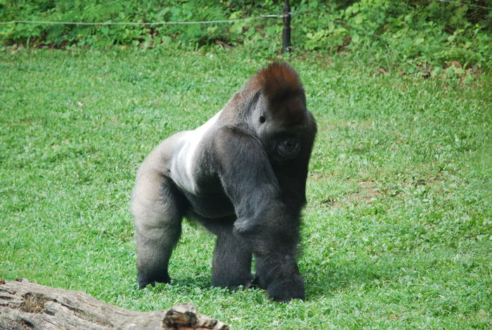 Animal Themes Animal Wildlife Day Field Gorilla Grass Green Color Majestic Mammal Nature No People One Animal Outdoors Silverback Gorilla Wildlife Photography