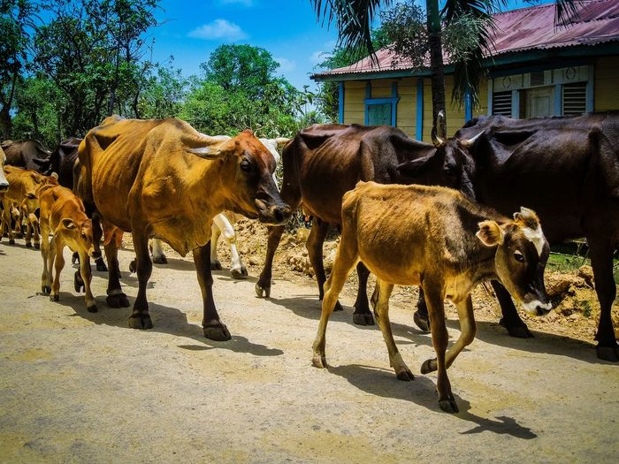 Cattle in the dr