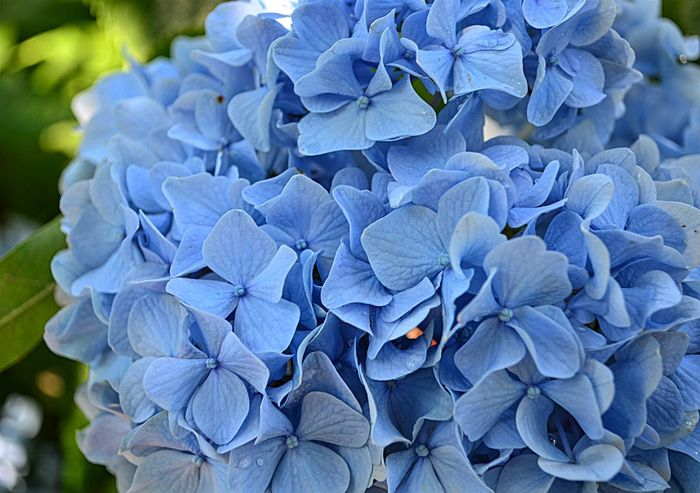 Blue hydrangea blooming in Richmond, VA Beauty In Nature Bloom Blooming Blossom Blue Close-up Flower Flower Head Fragility Freshness Full Frame Hygrangea In Bloom Pjpink Plant Richmond, VA Vibrant Color