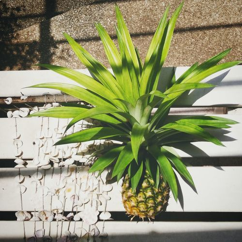 Homegrown Backyardfruit Pineapple Pineapple Plant Tropical Plants Tropical Fruits