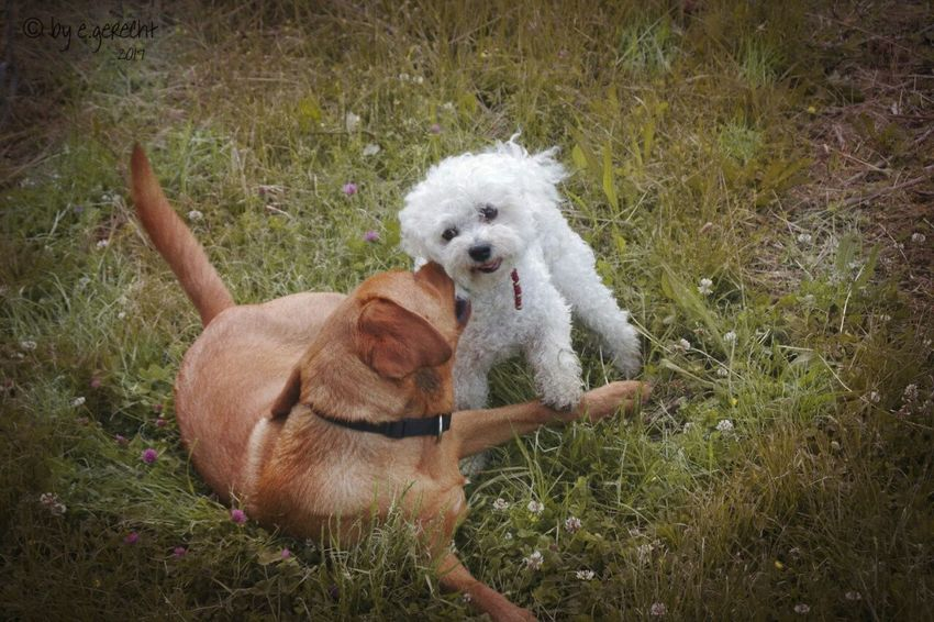 Doglove Dog Pets Outdoors Nature Grass Playing Dogs No People Labrador Friendship Animal Themes Dog Photography Day
