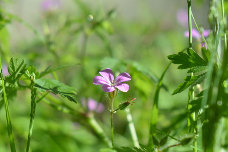 Beauty In Nature Blooming Close-up Day Flower Flower Head Freshness Geranium Green Color Growth Leaf Leaves Nature Outdoors Periwinkle Petal Plant Single Sunset Trioplan Trioplan100 Trioplan50 Wild