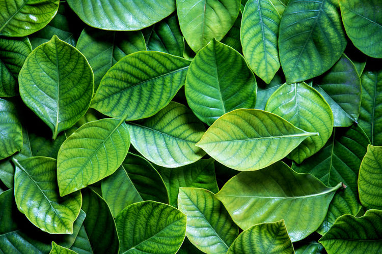 Fresh tropical Green leaves background Leaf Plant Part Green Color Full Frame Backgrounds Close-up Growth No People Plant Nature Leaf Vein Beauty In Nature Leaves Directly Above Freshness Day High Angle View Outdoors Pattern Natural Pattern Herb