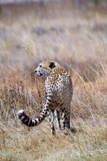 Predators in the wild Animals Cats Cheetah Cheetah Hunting Grassland Predators Spots And Markings Wildlife & Nature