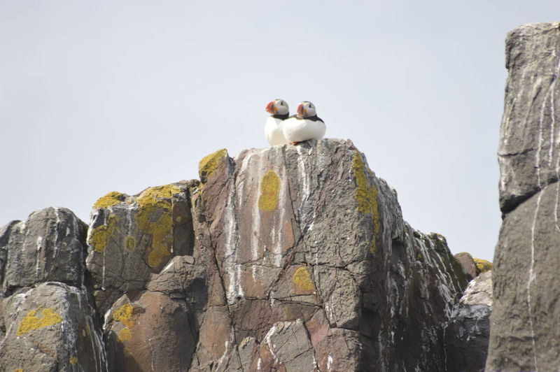 Puffin Animal