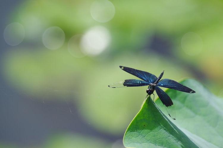 蓮の花の撮影中に見かけたチョウトンボ。蓮の花そっちのけで撮ってました。(笑) Dragonfly Butterfly Dragonfly Insect Nature Nature Photography Nature_collection Nature Beauty 玉ボケ 玉ボケ部