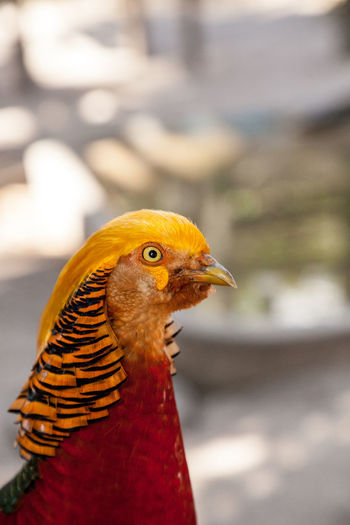 Male Golden pheasant also called the Chinese pheasant or chrysolophus pictus is known as a game bird. Golden Pheasant Pheasant Male Pheasant Yellow Heart Red Bird Bird Tail Feathers Long Feathers Chinese Pheasant Chrysolophus Pictus Gold Bird Display Colorful Bird Feathers Chinese Bird Bright Bird Bright Feathers Golden Mask Male Bird Avian Nature Animals In The Wild Wildlife Wild Bird