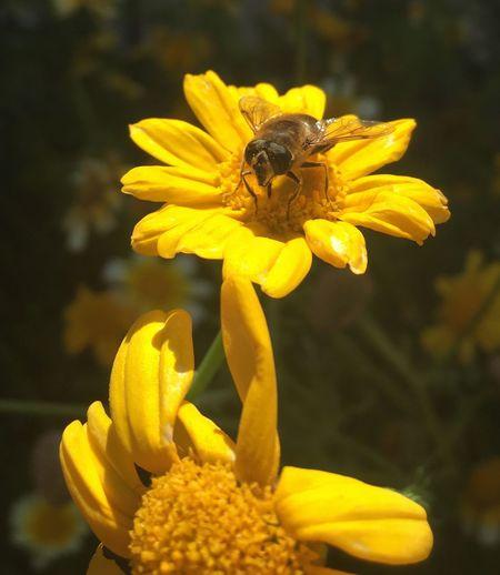 Colour Of Life Beefood Meadowflowers IPhoneography Summer Meadow Flowers HoneyBee Flower Workerbee Garden Photography Bee Honey Bee Paint The Town Yellow