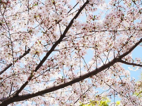 Sakura Cherry Blossoms Spring Tree Japan Japonism Tree Flower Flower Head Branch Backgrounds Springtime Full Frame Blossom Botany Sky Blossoming