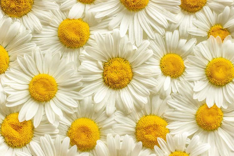 Full frame shot of white daisy flowers
