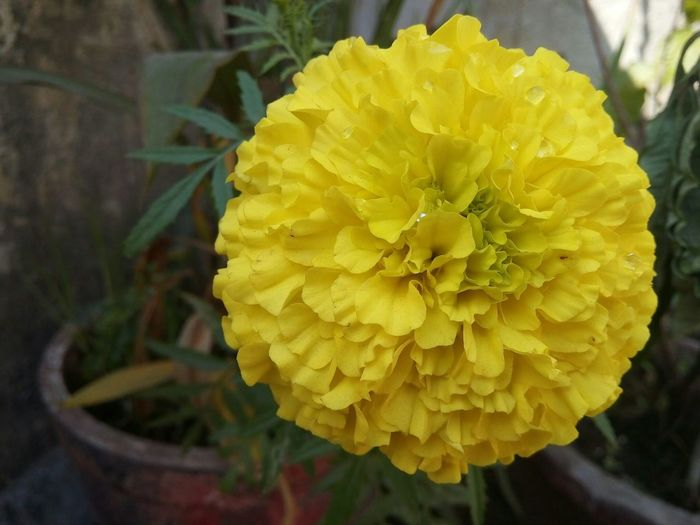 Big Yellow Flower Smartphone Photography Micromax A300 13Mp Don't Need A High End Phone, Just Click And Enjoy Freshness Flower Head