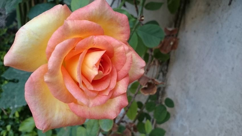 Beauty In Nature Close-up Day Flower Flower Head Fragility Freshness Nature No People Outdoors Roses