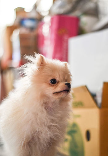Light brown Pomeranian puppy looking to the right with soft focus background Domestic Domestic Animals Pets One Animal Animal Animal Themes Mammal Dog Canine Vertebrate Focus On Foreground Indoors  Pomeranian Looking Close-up Looking Away Home Interior Cute Hair Small Animal Head  Innocence Pet Owner Pomeranian Puppy Adorable Standing Brown