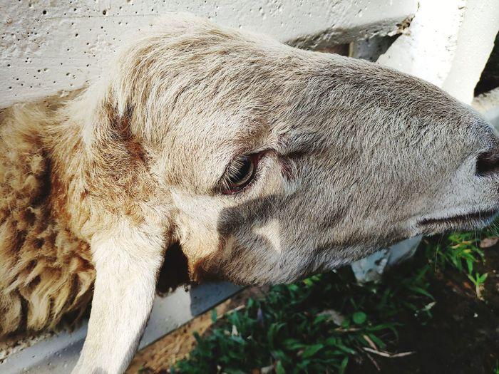 Sheep face Farm