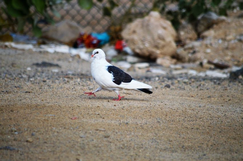 Animal Themes Bird Animal Animal Wildlife Animals In The Wild Vertebrate One Animal Land Day No People Beach Perching Nature Selective Focus Sand Outdoors Focus On Foreground Full Length Seagull Sea