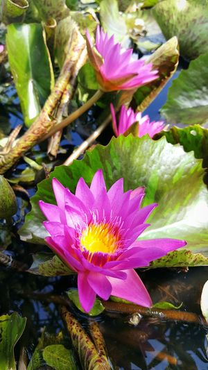 Water Lilly Waterlilly Waterlilyphotography Water Lily, Flower Water Lily Flower Water Lilly, Pond, Flower, Water Lilly Pink Water Lilly Pond Waterlillies Flower Collection Flowers, Nature And Beauty Flower Photography Flowers_collection Flowerlovers Flowers In My Garden Flower Collection