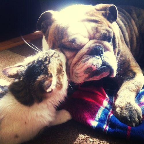 Dog Lover Cat Kiss Dog