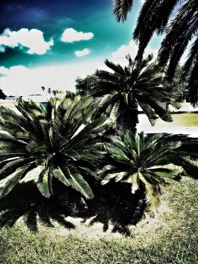 Palm Tree Growth Nature Tranquility Beauty In Nature Scenics Close-up Sky Outdoors Tree Day No People Taft Texas Before Hurricane Harvey