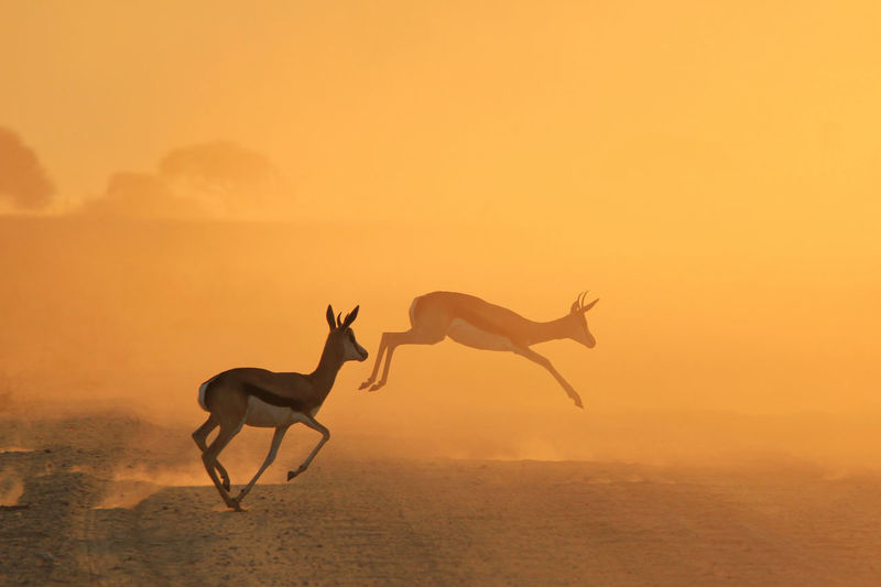 Deer jumping on field during sunset
