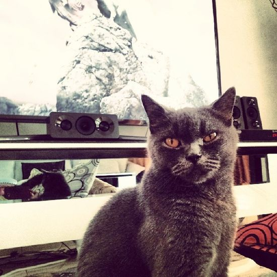 "Stop showing me that ""nk mkn"" face!!! Montel Britishshorthair Igcats Myhungercat"
