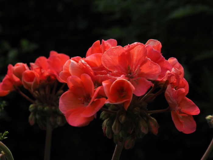 Close-up of red pink flowers