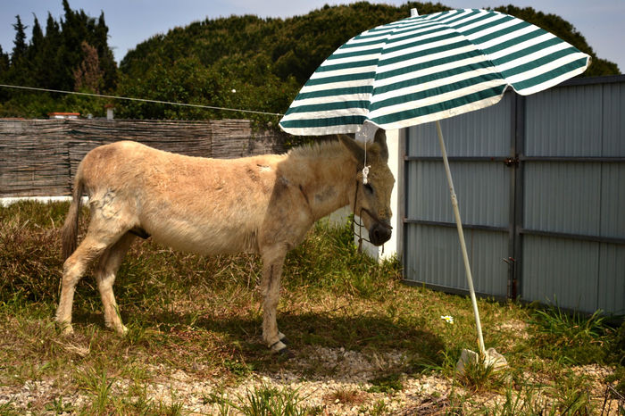 Animal Themes Burro Day Domestic Animals Donkey One Animal Outdoors Sombrilla Standing