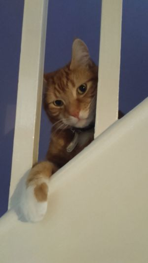 Happy Caturday Caturday Cat Ginger Cat Orange Cat Ginger And White Cat Orange And White Cat Domestic Cat Happy Cat Feline On The Stairs Railings Cat Paw Cat Paws EyeEm Cats Cats Of EyeEm Handsome Cat Cute Cat Cat Lovers Hanging About