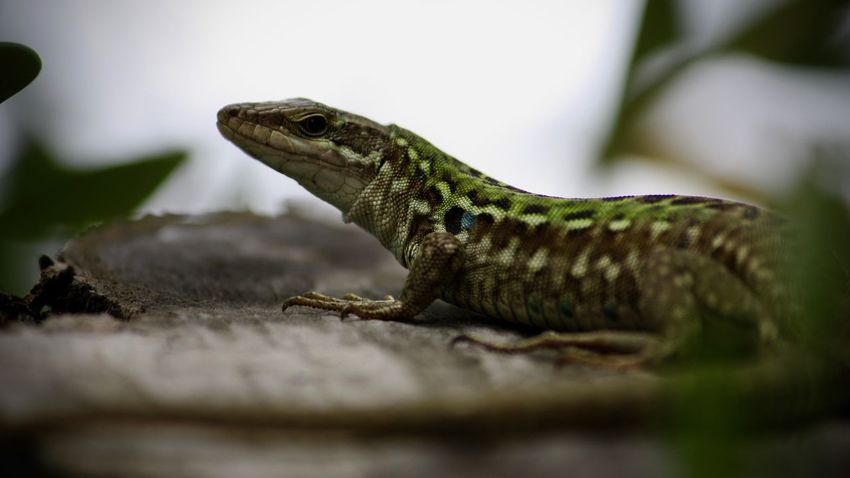 Reptile Animal Animal Themes Lizard One Animal Selective Focus Animal Wildlife Vertebrate Animals In The Wild Close-up No People Animal Body Part Side View Day Bearded Dragon Nature Looking Outdoors Animal Scale Green Color Iguana Animal Head  Profile View