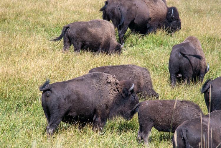 Sheep grazing in a grass