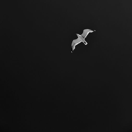 Animal Themes Animal Wildlife Animals In The Wild Bird Black Background Black Sky Day Flying Holiday Nature No People One Animal Outdoors Seagull Spread Wings Stork