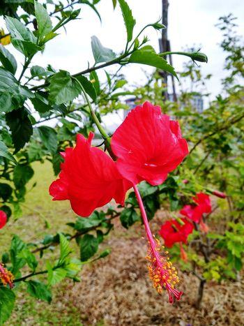 Hibiscus Negaraku Malaysia Bunga Raya Kebangsaan Flower Head Flower Hibiscus Tree Branch Poppy Red Petal Close-up Plant