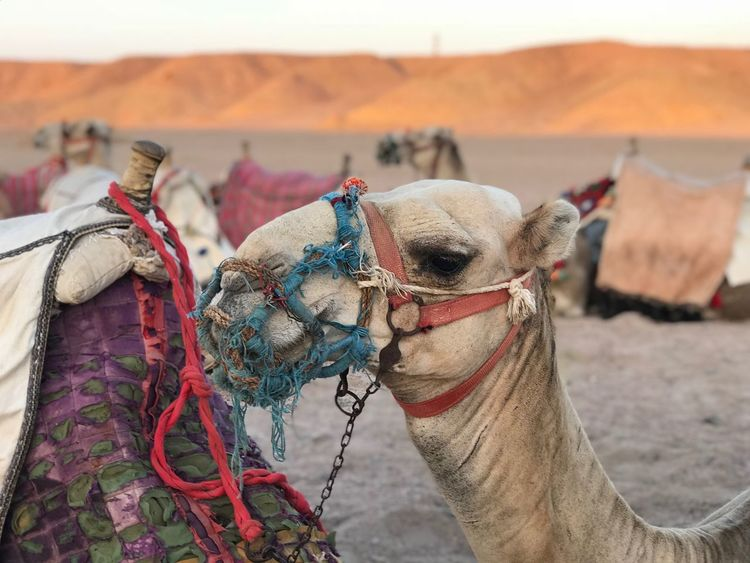 Camel Focus On Foreground Domestic Animals Working Animal Animal Themes Domestic Desert Animal The Great Outdoors - 2018 EyeEm Awards The Photojournalist - 2018 EyeEm Awards The Great Outdoors - 2018 EyeEm Awards