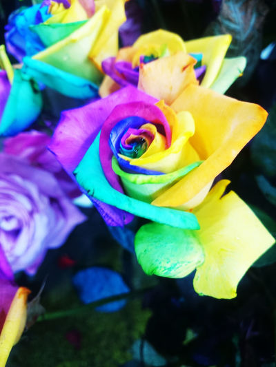 Beauty In Nature Close-up Day Flower Flower Head Fragility Freshness Growth Nature No People Outdoors Petal Plant Rainbow Colors Roses