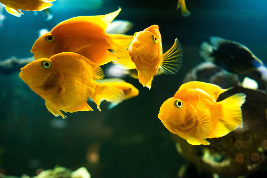 Animal Themes Animal Wildlife Animals In The Wild Aquarium Close-up Clown Fish Day Fin - Fish Part Fish Goldfish Indoors  Large Group Of Animals Nature No People Sea Life Swimming UnderSea Underwater Water Yellow