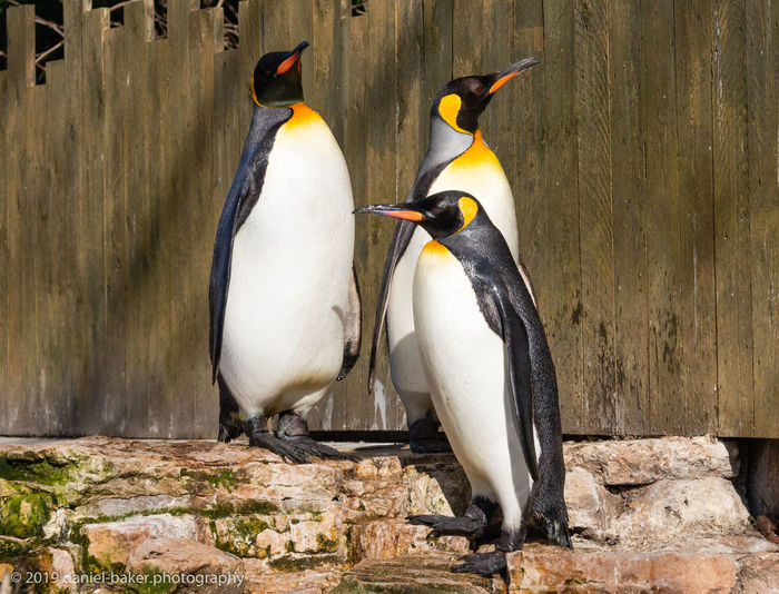 Bird Birdland Group Of Animals Penguin No People Rock - Object Outdoors Focus On Foreground Animal Family Day King Penguin