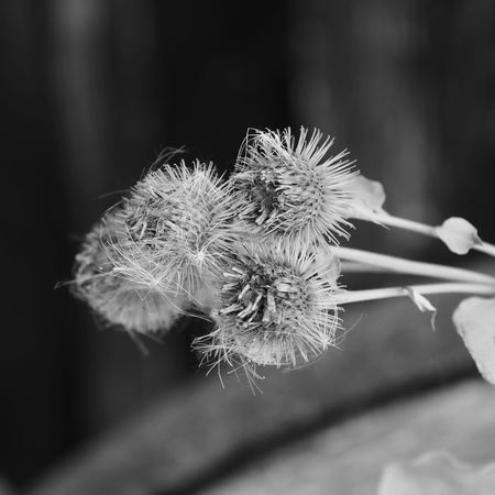 Black & White Nature Photography Beauty In Nature Black And White Blackandwhite Blackandwhite Photography Close-up Day Flower Head Flowering Plant Focus On Foreground Fragility Growth Nature Nature_collection Naturelovers No People Outdoors Plant Selective Focus Softness Summer Thistle Thistleheads Vulnerability