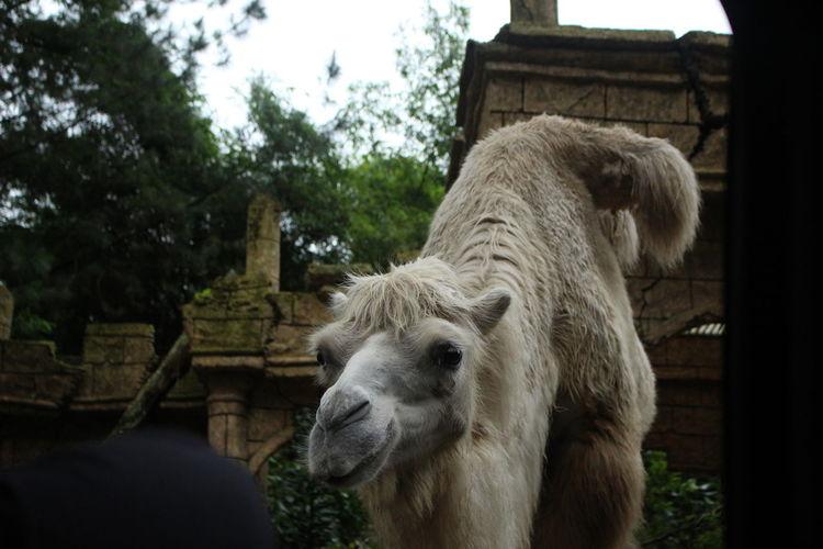 Jan 2018. Camel