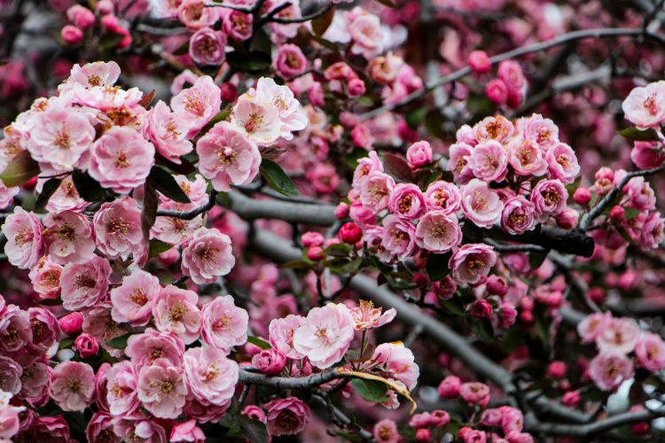 Beauty In Nature Branch Cherry Blossoms Close-up Day Flower Flower Head Fragility Freshness Full Frame Growth Lilac Nature No People Outdoors Petal Pink Color Pink Flower Plant Springtime